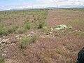 Lepidium papilliferum habitat 2.jpg