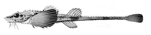 Leptagonus decagonus1