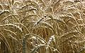 Les Plantes Cultivades. Cereals. Imatge 1821.jpg