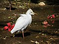 Les oiseaux d'Egypte - panoramio - youssef alam (9).jpg
