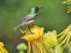 Lesser Double-Collared Sunbird (30879955248).jpg