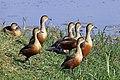 Lesser whistling ducks (Dendrocygna javanica).jpg