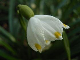 Leucojum-vernum-flower2.jpg