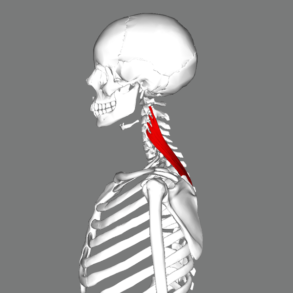 Fichier:Levator scapulae muscle lateral.png