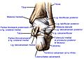 Ligaments of the posterior part of the foot.ro.jpg