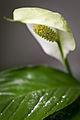 Like little specks of pollen (5676019876).jpg