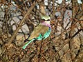 Lilac breasted roller in Tanzania 2676 Nevit.jpg