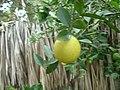 Limão maduro - panoramio.jpg