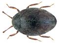 Limnichus pygmaeus (Sturm, 1807) (21810640943).png