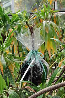 Air layering vegetative propagation asexual reproduction