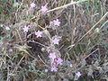Limonium ferulaceum.JPG