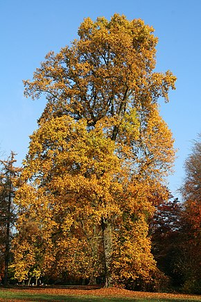 http://upload.wikimedia.org/wikipedia/commons/thumb/a/af/Liriodendron_tulipifera_JPG5a.jpg/290px-Liriodendron_tulipifera_JPG5a.jpg