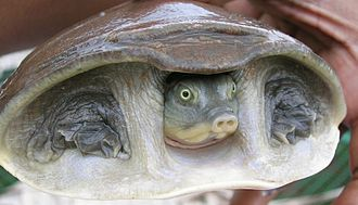 Cryptodira - The Indian flapshell turtle (Lissemys punctata) from the Trionychidae is a highly advanced eucryptodire.