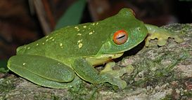 Litoria chloris yellowspots.JPG