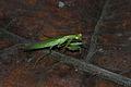 Little Mantis (Iridopterygidae) (8752404079).jpg