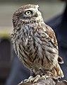 Little Owl 2 (4450573371).jpg