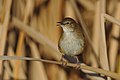 Little rush warbler, Bradypterus baboecala, at Marievale Nature Reserve, Gauteng, South Africa (28776829558).jpg
