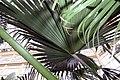 Livistona chinensis 10zz.jpg