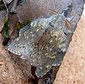 Lobster Moth. Stauropus fagi (5796197157).jpg