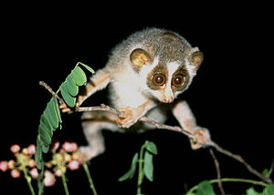 Strepsirrhini - Early primates possessed adaptations for arboreal locomotion that enabled maneuvering along fine branches, as seen in this slender loris.
