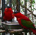Lorius domicella -San Diego Zoo-6a-2cr.jpg
