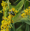Lucilia silvarum blowfly on goldenrod (9785567831).jpg