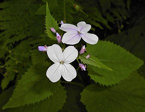 Description de l'image Lunaria rediviva 2015-06-01 OB 122.jpg.