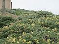 Lupinus arboreus (6062697620).jpg