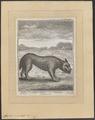 Lupus orientalis - 1765 - Print - Iconographia Zoologica - Special Collections University of Amsterdam - UBA01 IZ22200359.tif