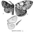 LymantriaMathura.png