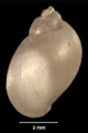 Lymnaea meridensis shell 2.png