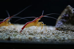 "Shrimp - Most shrimp such as Lysmata amboinensis live in fairly shallow waters and use their ""walking legs"" to perch on the sea bottom."