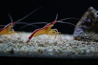 <i>Lysmata amboinensis</i> species of crustacean