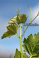 Mérithalle-vigne.jpg