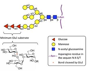Mannosyl-oligosaccharide glucosidase - The oligosaccharide substrate for MOGS