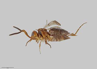 <i>Maaminga</i> genus of insects