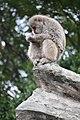 Macaca fuscata in Ueno Zoo 2019 33.jpg