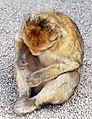 Macaca sylvanus Morocco 2.jpg