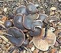 Macrocystidia cucumis (32569010323).jpg