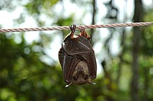 A small bat clings upside down to a rope. It has brown fur and a narrow snout.
