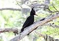 Magellanic Woodpecker (Campephilus magellanicus) (15774449867).jpg