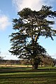 Magnificent tree at Euston - geograph.org.uk - 1598784.jpg