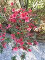 Magnolia Plantation and Gardens - Charleston, South Carolina (8556510178).jpg