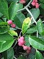 Magnolia kobus var borealis Magnolia japońska 2011-09-11 01.jpg