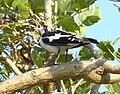 Magpie-Lark Female.JPG