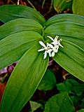 Maianthemum stellatum - Star flowered Solomon's seal 2.jpg