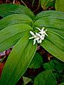Maianthemum stellatum - Star flowered Solomon's seal 2.jpg