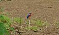 Malachite Kingfisher (Alcedo cristata) (5997295547).jpg
