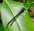 Male. Argia terira^ Calvert, 1907 .Coenagrionidae - Flickr - gailhampshire.jpg