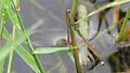 Male Aurora Bluetail (17247880596).jpg